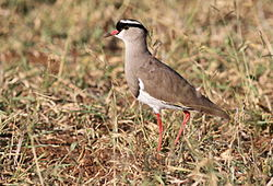 Crowned Lapwing, Vanellus coronatus, at Mapungubwe National Park, Limpopo, South Africa (18328811066).jpg