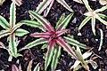 Cryptanthus bivittatus Pink Starlite 1zz.jpg