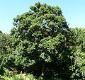 Cryptocarya latifolia, habitus, Walter Sisulu NBT.jpg
