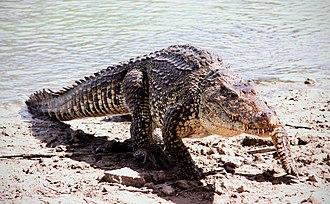 Cuban crocodile - Cuban crocodile