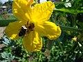 Cucurbita-flower.jpg