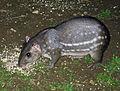 Cuniculus paca (8974356586).jpg