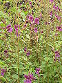 Cuphea hyssopifolia3.jpg