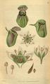 Curtis's Botanical Magazine, Plate 3119 (Volume 58, 1831).png
