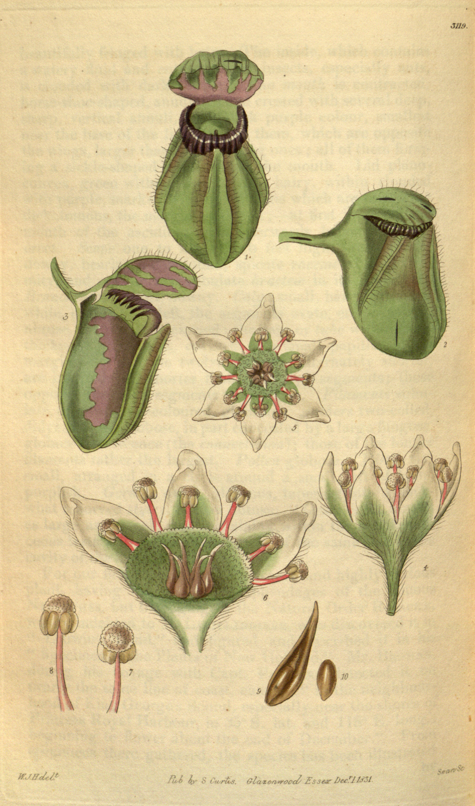 Curtis%27s Botanical Magazine, Plate 3119 (Volume 58, 1831)