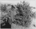 Cutting the Christmas tree - NARA - 285495.tif