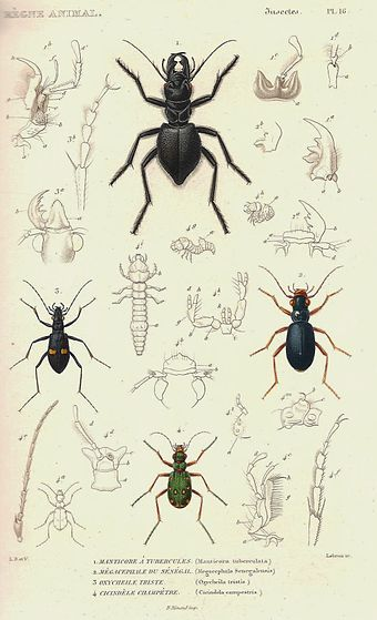 Ground beetles (green tiger beetle at bottom). 1828 edition.