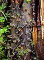 Cyathea manniana01.jpg