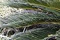 Cycas revoluta 20zz.jpg