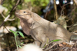 Cyclura pinguis2.jpg