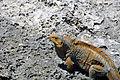 Cyclura rileyi rileyi (San Salvador rock iguana) (Green Cay, offshore from northwestern San Salvador Island, Bahamas) 3 (16040069212).jpg