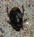 Cydnidae P1030014a.jpg