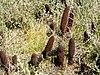 Cynomorium coccineum (habitat).jpg