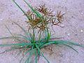 Cyperus rotundus Habitus 2010-7-11 LagunadelaMata cropped.jpg