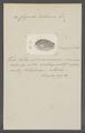 Cypraea cribraria - - Print - Iconographia Zoologica - Special Collections University of Amsterdam - UBAINV0274 088 02 0053.tif