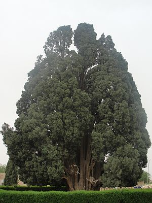 Cupressus sempervirens - 4000-year-old Cypress of Abarqu, Iran