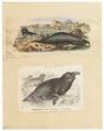 Cystophora proboscidea - 1700-1880 - Print - Iconographia Zoologica - Special Collections University of Amsterdam - UBA01 IZ21100127.tif