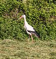 Dülmen, Storch auf einer Wiese -- 2014 -- 0053.jpg