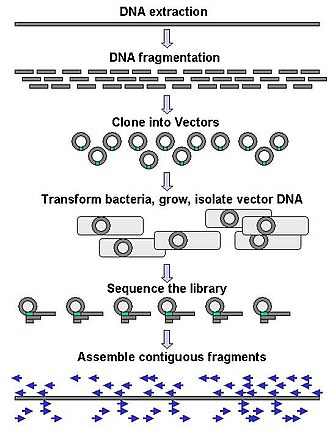 DNA sequencing - Genomic DNA is fragmented into random pieces and cloned as a bacterial library. DNA from individual bacterial clones is sequenced and the sequence is assembled by using overlapping DNA regions.(click to expand)