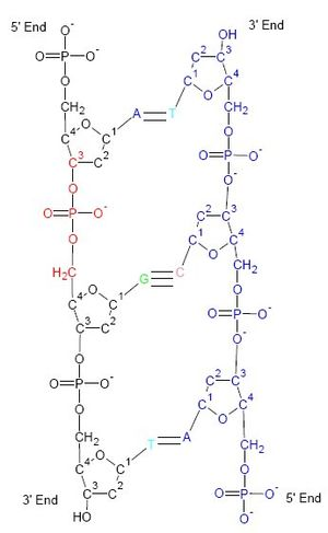 Diagram that emphasizes the phosphate backbone of DNA. Watson and Crick first made helical models with the phosphates at the center of the helices.