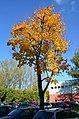 DSC 0001 Der Spitzahorn (Acer platanoides).jpg