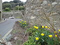 Daffodils along Bonchurch Shore Road.JPG