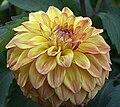 Dahlia - 'Hy Clown' cultivar.jpg