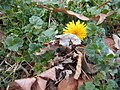 Dandelion in December (15821571649).jpg