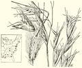 Danthonia sericea HC-1951.png