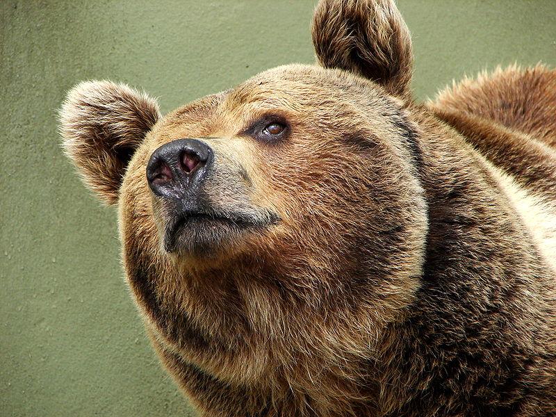 File:Darica Brown Bear 00963.jpg