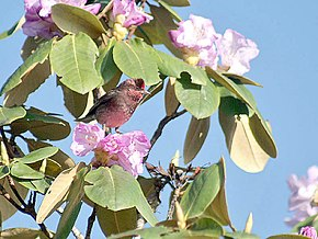 Dark-breasted Rosefinch (Male) I IMG 3793.jpg