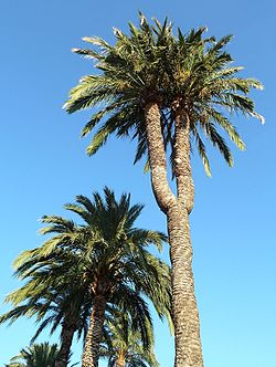 Sabal palmetto  Wikipedia