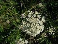 Daucus carota flowerhead5 (13834047763).jpg