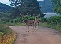 Deer in Glen Affric.JPG