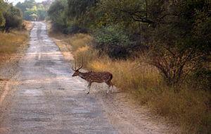 Sariska Tiger Reserve - Image: Deer in Sariska Reserve