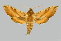 Deilephila askoldensis BMNHE274518 male up.jpg