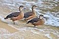 Dendrocygna javanica (Lesser Whistling Duck - Zwergpfeifgans) Weltvogelpark Walsrode 2012-005.jpg