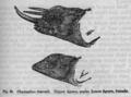 Descent of Man - Burt 1874 - Fig 36.png