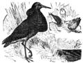Descent of Man - Burt 1874 - Fig 37.png