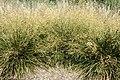 Deschampsia caespitosa Goldtau kz2.jpg