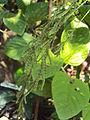 Desmodium gangeticum seeds.JPG