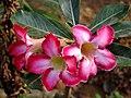 Dessert Rose - Adenium obesum.jpg