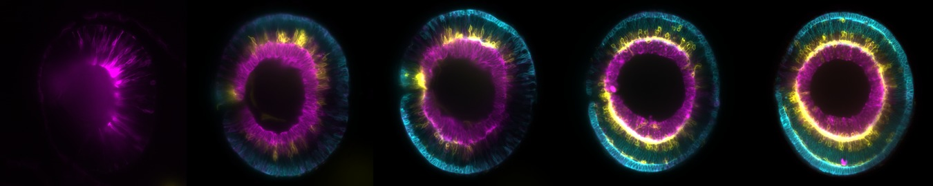 Development of the retina.tif