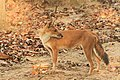 Dhole or Wild dog (51).jpg