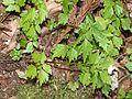 Dichocarpum stoloniferum (leaf).JPG