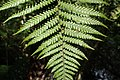 Dicksonia squarrosa kz04.jpg