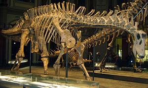 Dicraeosaurus - Dicraeosaurus skeleton