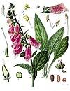 Digitalis purpurea - Köhler–s Medizinal-Pflanzen-053.jpg
