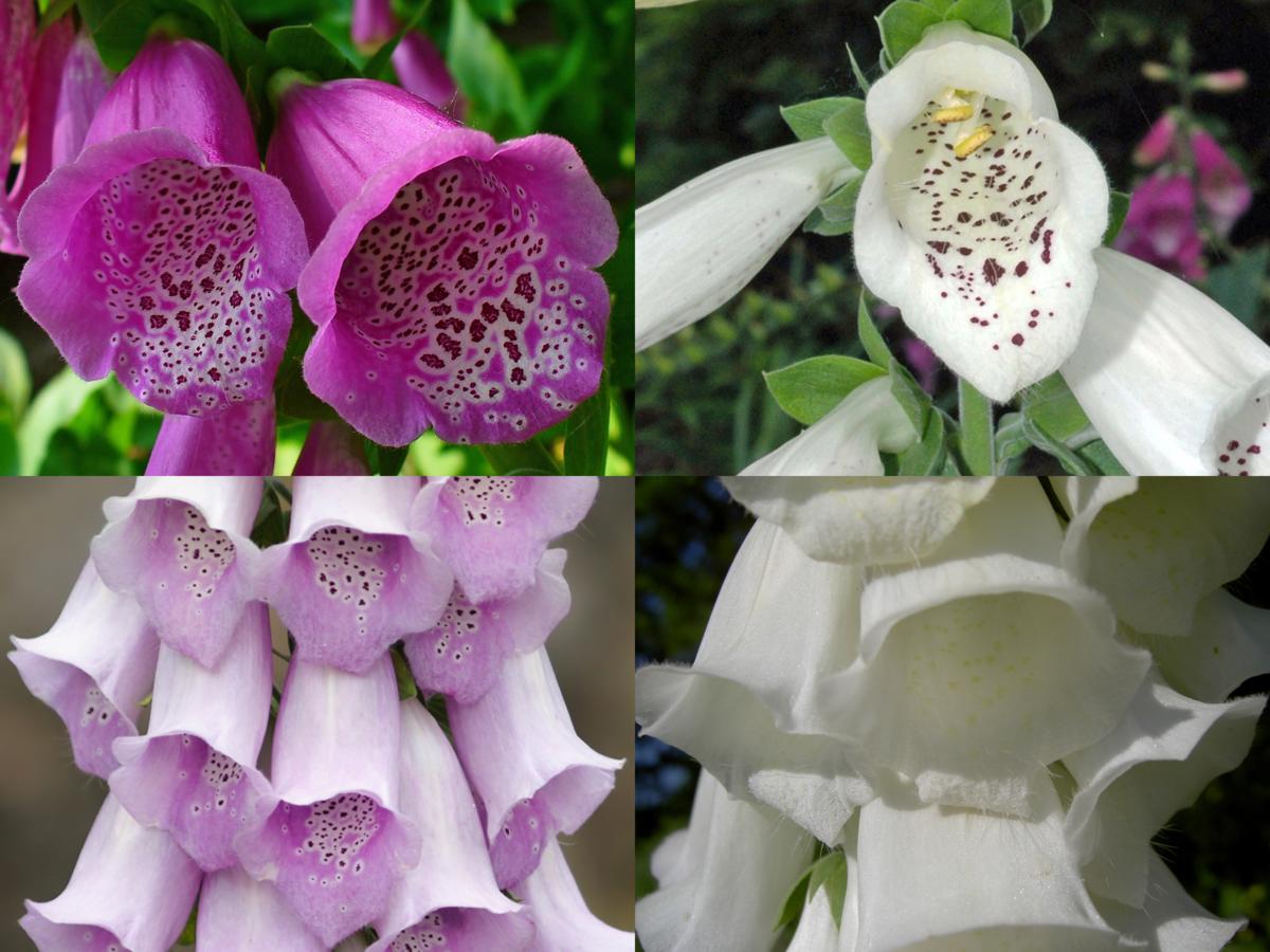 Digitalis purpurea phenotypes.png
