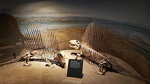 Dimetrodon - Two D. grandis skeletons, Royal Tyrrell Museum